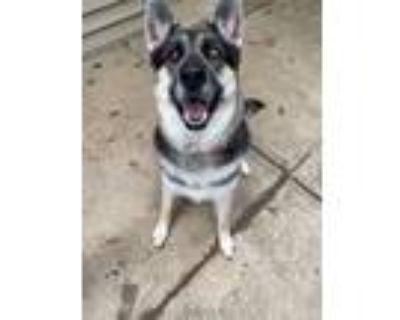 Adopt Stella a Black - with Tan, Yellow or Fawn Siberian Husky / German Shepherd