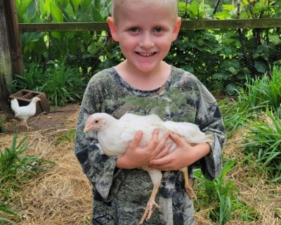 White Leghorn Chick Pullets - Females $8