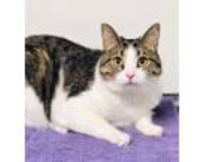 Adopt Miss Kitty a Brown or Chocolate Domestic Shorthair / Domestic Shorthair /