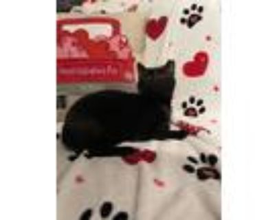 Adopt Tie Dye a All Black Domestic Shorthair / Mixed cat in Wheaton