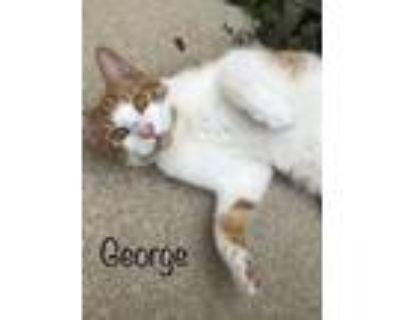 Adopt Georgie a Domestic Short Hair