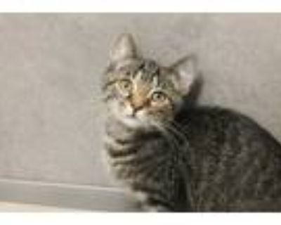 Adopt MILKYWAY a Brown Tabby Domestic Shorthair / Mixed (short coat) cat in