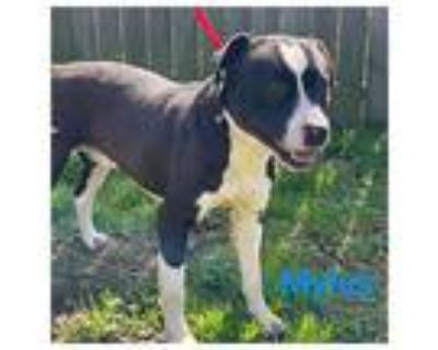 Myles, Pit Bull Terrier For Adoption In Mandeville, Louisiana