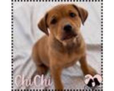 Adopt Chichi a Tan/Yellow/Fawn Labrador Retriever / Mixed dog in Chandler