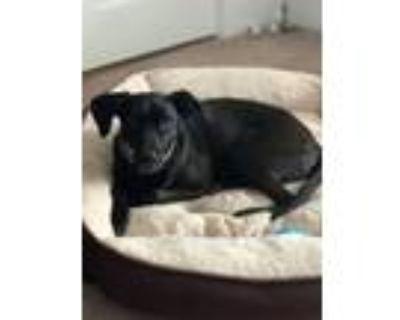 Adopt Brady a Black Labrador Retriever / Tibetan Terrier / Mixed dog in Whitman
