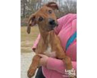 Adopt Arnie a Red/Golden/Orange/Chestnut Labrador Retriever / Miniature Pinscher