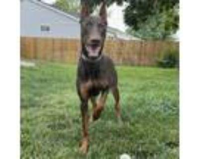 Adopt Aria a Red/Golden/Orange/Chestnut Doberman Pinscher / Mixed dog in