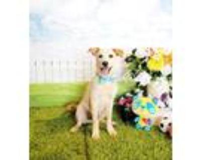 Adopt Harmin a White Labrador Retriever / Mixed dog in Castro Valley