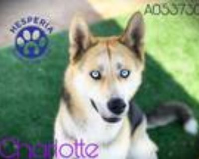 Adopt CHARLOTTE a Black - with Tan, Yellow or Fawn Husky / German Shepherd Dog /