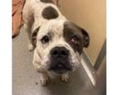 Adopt Tank* a Gray/Silver/Salt & Pepper - with Black Staffordshire Bull Terrier