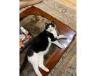 Adopt Sammie a Black & White or Tuxedo Domestic Mediumhair / Mixed (medium coat)