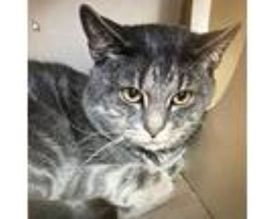 Adopt BUTTER a Black (Mostly) Domestic Shorthair / Mixed (short coat) cat in