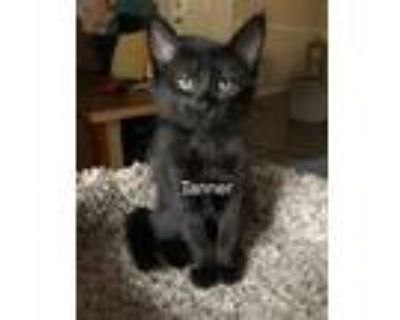 Adopt Tanner a All Black Domestic Shorthair (short coat) cat in Mansfield