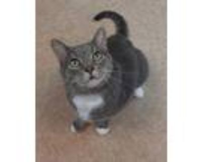 Adopt Percy a Gray or Blue Domestic Shorthair / Domestic Shorthair / Mixed cat