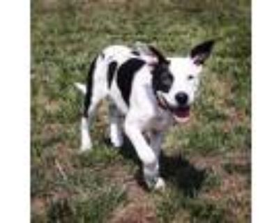 Adopt PLUM a Border Collie, Mixed Breed