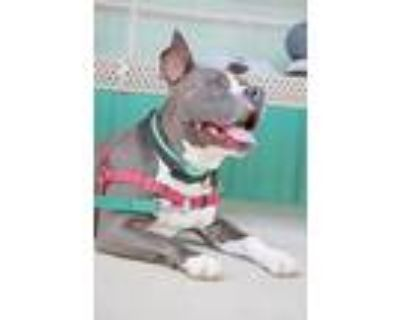 Adopt Bruce a Pit Bull Terrier