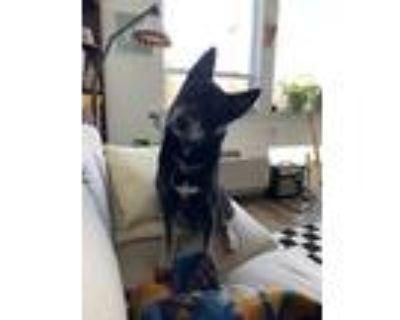 Adopt Toto a Black - with Tan, Yellow or Fawn Husky / German Shepherd Dog /