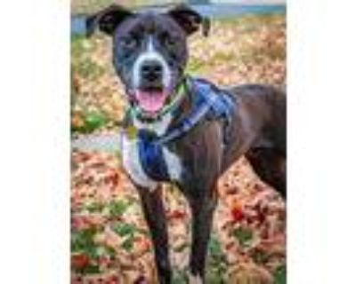 Xander, American Pit Bull Terrier For Adoption In Kettering, Ohio
