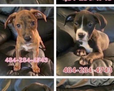 Beautiful American Pitbull Terriers!!!