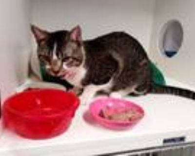 Adopt Snickers a Domestic Short Hair, Tabby