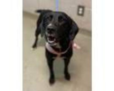 Cora, Labrador Retriever For Adoption In Spartanburg, South Carolina
