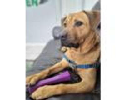 Adopt Chester a Red/Golden/Orange/Chestnut Labrador Retriever / Shar Pei / Mixed