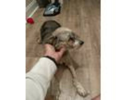 Adopt Layla a White - with Gray or Silver Chinese Crested / Mixed dog in