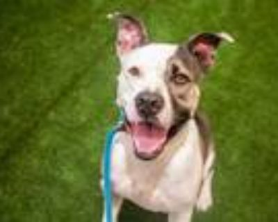 Adopt MIKEY a Pit Bull Terrier, Mixed Breed