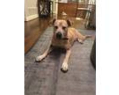 Adopt Sawyer a Brown/Chocolate Labrador Retriever / Mixed dog in Fort Worth