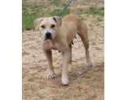 Adopt Ginger a Tan/Yellow/Fawn Labrador Retriever / Mixed dog in Abbeville