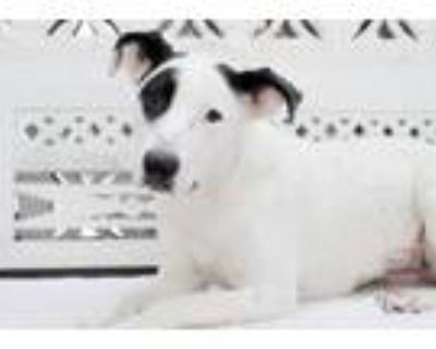 Adopt Dayana a White - with Black Pointer / Great Pyrenees / Mixed dog in
