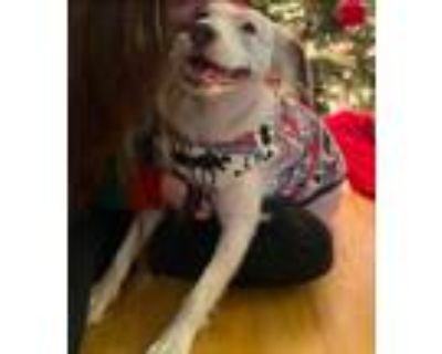 Adopt Lainey a White - with Brown or Chocolate American Pit Bull Terrier /