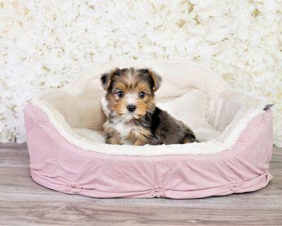 Parti Yorkie Yorkshire puppy