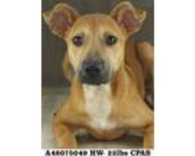 Adopt Nestle a Tan/Yellow/Fawn Rhodesian Ridgeback / Mixed dog in Shreveport