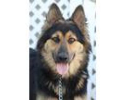 Adopt Chanel von Calw a Black - with Tan, Yellow or Fawn German Shepherd Dog /