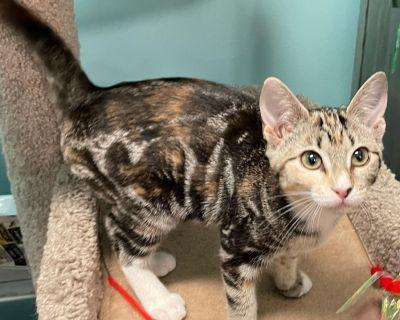 Whitney - Domestic Medium Hair - Kitten Female