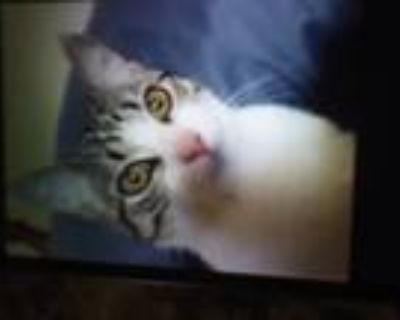 Adopt Sweetie Pie a Tiger Striped American Shorthair / Mixed (short coat) cat in