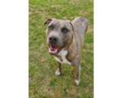 Adopt Oakley a American Staffordshire Terrier