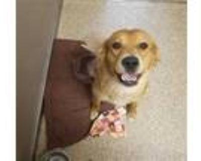 Adopt LADY a Brown/Chocolate Golden Retriever / Mixed dog in Albuquerque