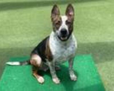 Adopt ROCKIE a Australian Cattle Dog / Blue Heeler