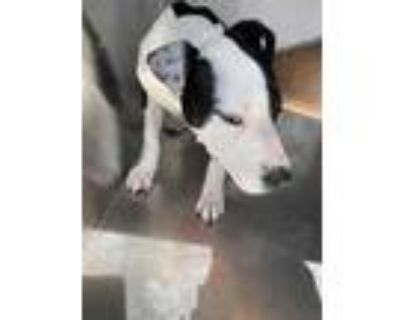 Adopt ADOPTED Chica a White American Pit Bull Terrier / Mixed dog in Fort Worth