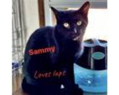 Adopt Sammy a All Black Domestic Shorthair / Mixed (short coat) cat in Berkeley