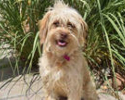 Adopt DAFFODIL a White Poodle (Miniature) / Mixed dog in Aurora, CO (31970398)