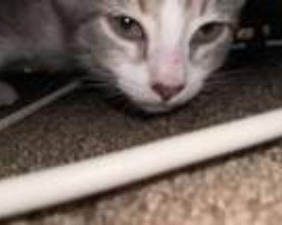 Adopt Loui a Gray, Blue or Silver Tabby American Shorthair / Mixed (short coat)