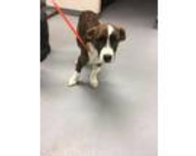 Adopt 48261164 a Brindle American Pit Bull Terrier / Mixed dog in Los Lunas