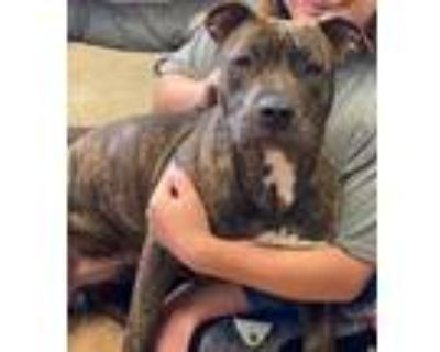 Adopt B.B. a Brindle Pit Bull Terrier / Mixed dog in Amarillo, TX (32082763)
