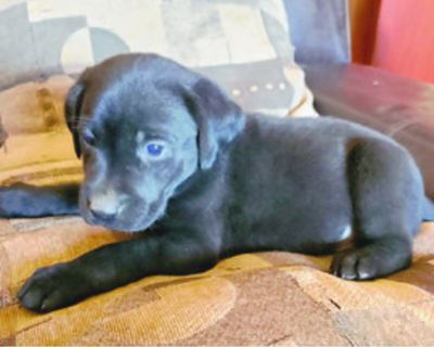LABRADOR Puppies AKC Registered, for sale, 2 litters, 15 weeks old and 6 weeks old....