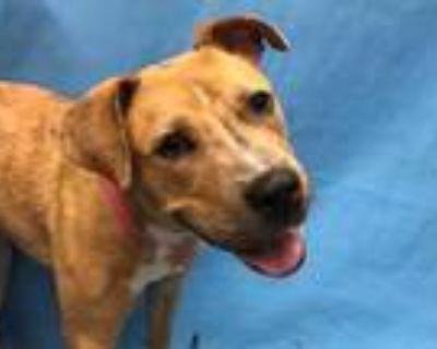 Adopt Cheotah a Tan/Yellow/Fawn Australian Cattle Dog / Mixed dog in Woodbury