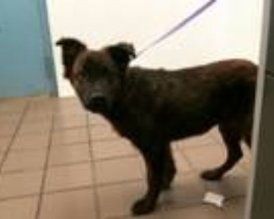 Adopt CIDER a Dutch Shepherd, Mixed Breed