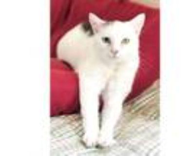 Adopt Aeon a Domestic Short Hair